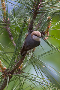 Brown-headed Nuthatch IMG_2133