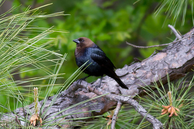 Brown-headed Cowbird IMG_2110