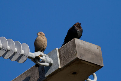 Brown-headed Cowbirds IMG_0132