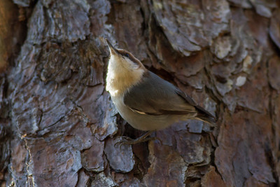 Brown-headed Nuthatch IMG_4675