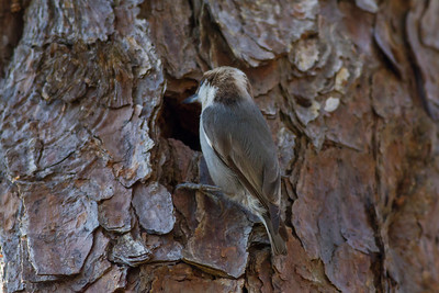Brown-headed Nuthatch IMG_4673