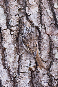 Brown Creeper 4x6_IMG_8098 rev 2