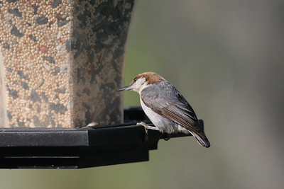 Brown-headed Nuthatch IMG_1406