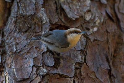 Brown-headed Nuthatch IMG_4678