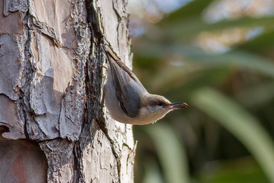 Brown-headed Nuthatch IMG_4650
