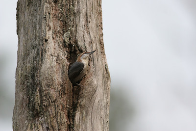 Brown-headed Nuthatch IMG_0925
