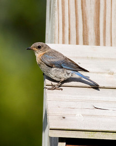 Eastern Bluebird (female) IMG_3603 rev 1