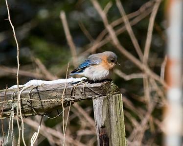 Eastern Bluebird IMG_0341 rev 1