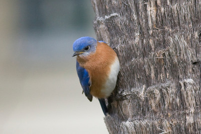 Eastern Bluebird IMG_0195 rev 1