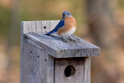 Eastern Bluebird (Male) IMG_9767 rev 2