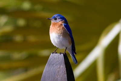 Eastern Bluebird IMG_0141 rev 2