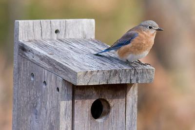 Eastern Bluebird (Female) IMG_9768 rev 2