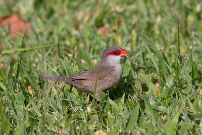Common Waxbill IMG_8450