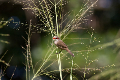 Common Waxbill IMG_2486 rev 1