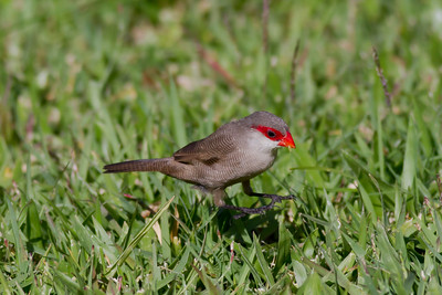 Common Waxbill IMG_8451
