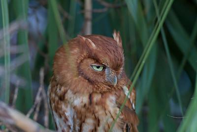 Eastern Screech-owl IMG_2329