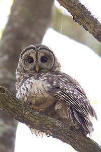 Barred Owl IMG_9471 rev 1