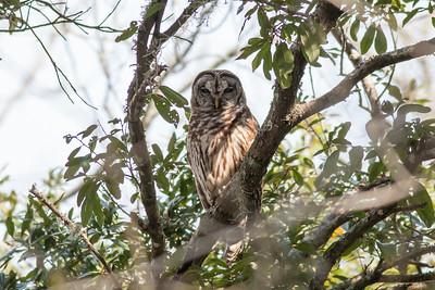Barred Owl IMG_9997