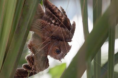 Eastern Screech Owl IMG_2932