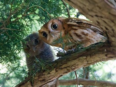 Eastern Screech Owl High Res IMG_2562