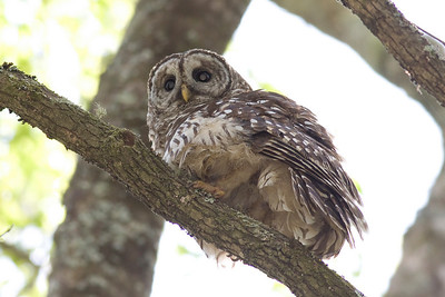 Barred Owl IMG_9462 rev  1
