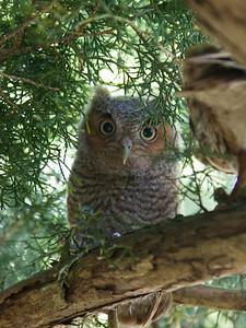 Eastern Screech Owl High Res IMG_2526