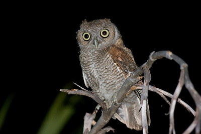 Eastern Screech-Owl IMG_0920 rev 1