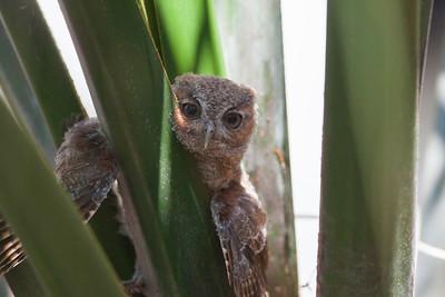 Eastern Screech Owl IMG_2933