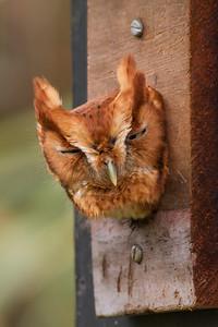 Eastern Screech Owl IMG_2052