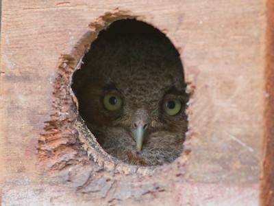 Eastern Screech-owl IMG_2311