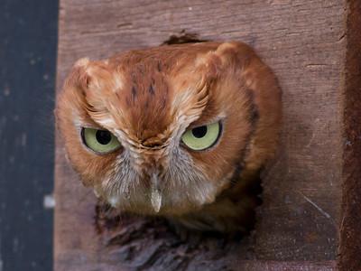 Eastern Screech-owl IMG_2318