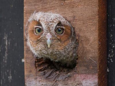 Eastern Screech-owl IMG_2323