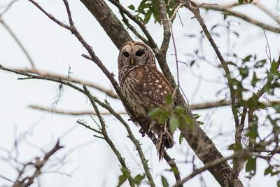 Barred Owl IMG_9971