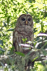 Barred Owl IMG_1236 rev 1