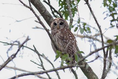 Barred Owl IMG_9980