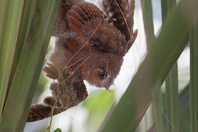 Eastern Screech Owl IMG_2931
