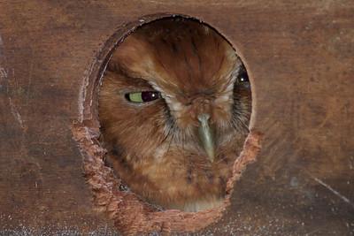 Eastern Screech Owl IMG_0119