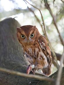 Eastern Screech Owl High Res IMG_2518