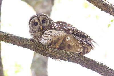 Barred Owl IMG_9457 rev 1