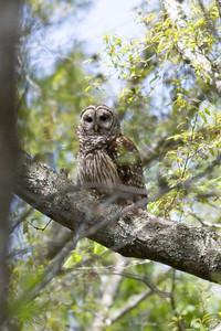 Barred Owl IMG_9476 rev 1