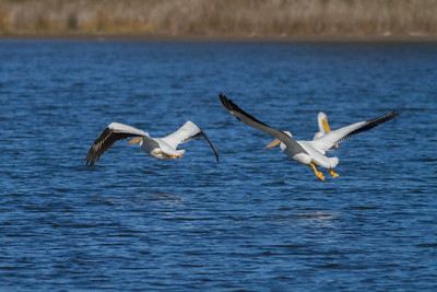 American White Pelican IMG_9043