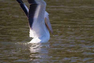 American White Pelican IMG_9039