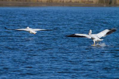 American White Pelican IMG_9045