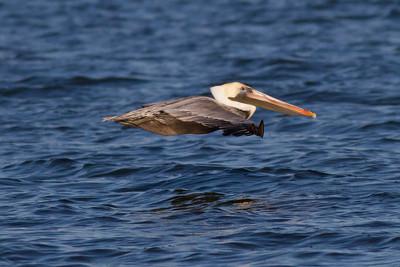 Brown Pelican IMG_0897
