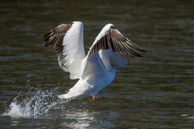 American White Pelican IMG_9040