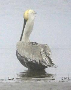 Brown Pelican IMG_1941  rev 4