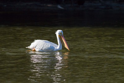 American White Pelican IMG_9032