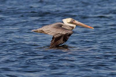 Brown Pelican IMG_0896