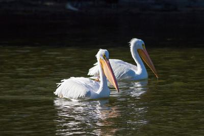 American White Pelican IMG_9031