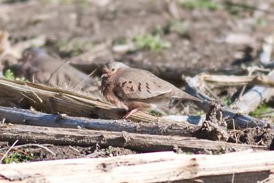 Common Ground Dove IMG_5440 rev 1